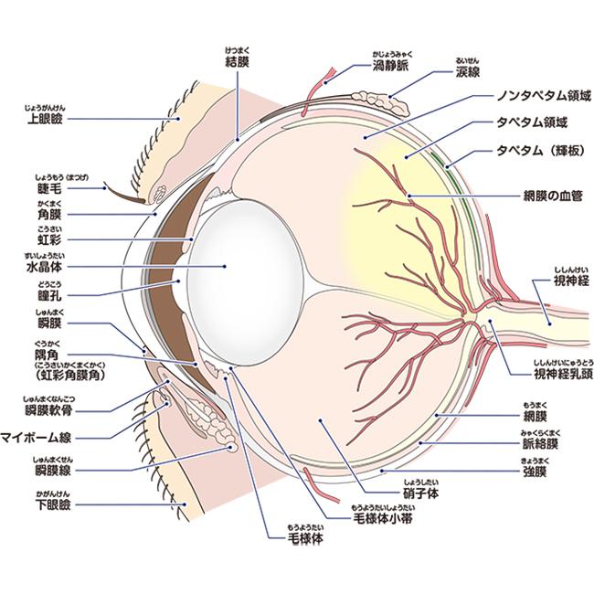 眼のイラスト