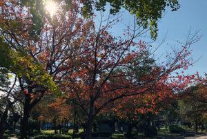 大川沿いの紅葉