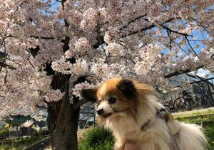 桜とパピヨン