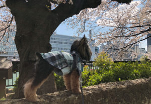 桜とヨーキー