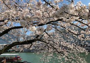 コロナと桜