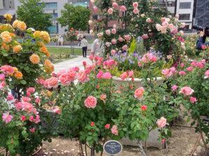 中之島公園 薔薇