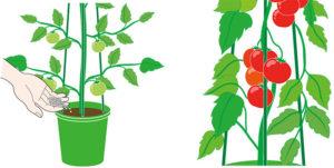 トマトの栽培イラスト